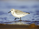 Sanderling  Adult in Winter Plumage Running Along Tide Line on Beach  UK