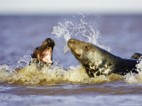Grey Seal  Female Fending off Male During Breeding Season  UK