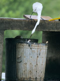 Great Egret  Feeding in a Garbage Can  Usa