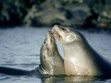 Galapagos Sea Lion  Pups Greeting  Galapagos