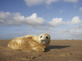 Grey Seal  Young Pup (3-5 Days Old) Lying on Sand Bar  UK
