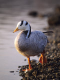 Bar-Headed Goose  Wild  Alsace  France