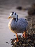 Bar-Headed Goose  Wild  Alsace  France