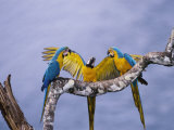 Blue and Yellow Macaw  Family  Peruvian Amazon