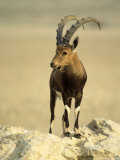 Nubian Ibex  Bahrain