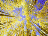 Skyward View  up Through Quaking Aspen Trees in Autumn Gu Nnison National Forest  Colorado