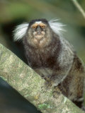 White Tufted-Eared Marmoset  Tijuca National Park  Brazil