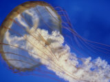 Sea Nettle  Monteray Aquarium  USA