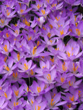 Crocus  Pattern in Flowers  KY