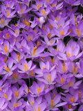 Crocus  Pattern in Flowers  KY