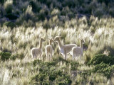 Vicuna  3 Week Old Babies Group Together  Peruvian Andes