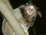 Black Tufted-Eared Marmoset  Barra Mansa  Brazil