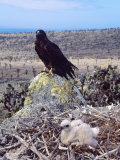 Galapagos Hawk  with Chick on Nest  Galapagos