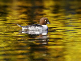Goldeneye  Adult Female on Colourful Water with Autumn Reflections  Scotland