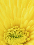 Close-up Pattern in Yellow Mum