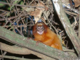 Golden Lion Tamarin  Free-Living Infant  Atlantic Rainforest  Brazil