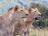 African Lions  Pointing  Kenya