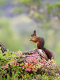 Red Squirrel  Adult Feeding on Hazelnut on Fallen Log in Forest in Autumn  Norway