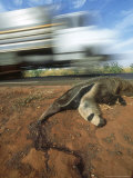 Giant Anteater  Road Kill Victim  Brazil