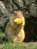 Columbian Ground Squirrel Eating Dandelion Jasper National Park  Canada