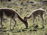 Vicuna  Mother with 3 Week Old Baby  Peruvian Andes