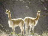 Vicuna  Wild High Andes Cameloid  Peru