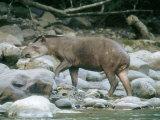 Lowland Tapir  Frequenting Mineral Seep  Yanachaga-Chemellin National Park  Peru