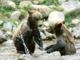 Grizzly Bears  Cubs Playing  Quebec  Canada
