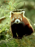 Red Panda  Ailurus Fulgens