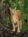 Caracal or African Lynx  Felis Caracal Native to Africa