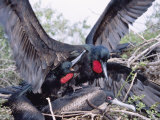 Great Frigate Bird  Frustrated Unpaired Males Fighting with a Mated Male  Galapagos