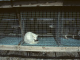 Arctic Fox in a Cage  Northeast Finland