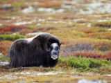 Musk Ox  Adult Female on Tundra in Autumn  Norway