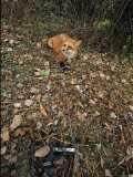 Red Fox  Caught in a Snare  Quebec  Canada