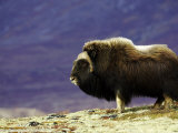 Musk Ox  Adult Male on Tundra in Autumn  Norway