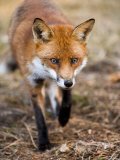 Red Fox  Fox Walking Head-On Through Pine Needles and Leaf Litter  Lancashire  UK
