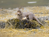 European Otter  Female Eating a Crab on a Seaweed Covered Rock  Scotland