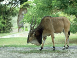 Eland  Male  Zoo Animal