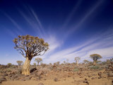 Quiver Tree or Kokerboom  Namibia