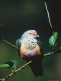 Rose-Crowned Fruit Dove  Sunning  Zoo Animal