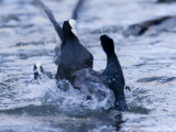Common Coot  Pair of Coots Fighting in Water  St Albans  UK