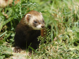 European Polecat in Low Vegetation  Sussex  UK