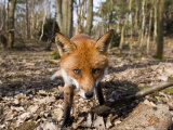 Red Fox  Close up Wide Angle View of Young Male Fox  Lancashire  UK