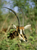 Sable Antelope  Head  Namibia