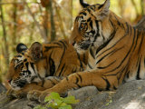 Bengal Tiger  11 Month Old Cubs  Madhya Pradesh  India