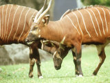 Bongo  Courting Pair  Zoo Animal