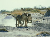 African Lion  Running  Namibia