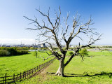 Dead Tree with Wilton International Industrial Complex in Background  Teeside  England