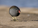 Common Moorhen  Walking on Footpath  St Albans  UK