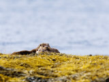 European Otters  Female Sibling Otters Basking on Seaweed Covered Rocks  Scotland